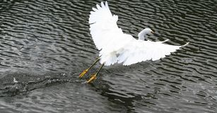 Snowy Egret. Wetting his feet Stock Photo