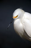 Snowy Egret Royalty Free Stock Photos