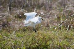 Snowy Egret Alights. Snowy Egret, Egretta Thula, Alights In Estuary Stock Image