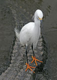 Snowy Egret and Alligator. A snowy egret rides on the back of a swimming alligator Stock Photography