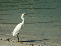 Snowy Egret on the beach Stock Photos