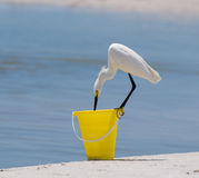 Snowy Egret on Beach Bucket Royalty Free Stock Images
