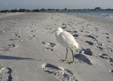 Snowy Egret on Beach at Lido Beach, Florida Royalty Free Stock Photography