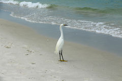 Snowy Egret Royalty Free Stock Images