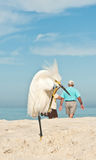 Snowy Egret at the beach Stock Photo