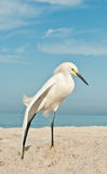 Snowy Egret at the beach Stock Image
