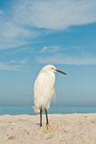 Snowy Egret at the beach Stock Images
