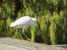 Snowy egret bird Royalty Free Stock Photos