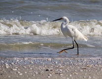Snowy Egret Bird Royalty Free Stock Photo