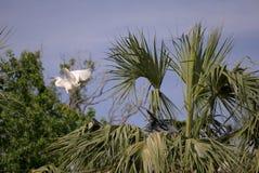 Snowy Egret and Black Heron Stock Image