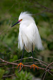 Snowy Egret Breeding Colours Stock Photo