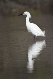 Snowy Egret in Breeding Plumage Royalty Free Stock Photography