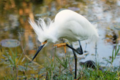 Snowy Egret with breeding plumage Stock Image