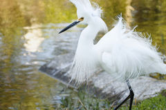 Snowy Egret with breeding plumage Royalty Free Stock Images