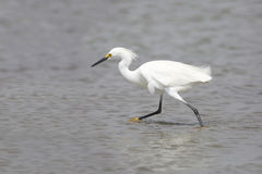 Snowy Egret in Breeding Plumage Foraging in a Shallow Bay Royalty Free Stock Images