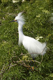 Snowy egret with breeding plumage perched in a Florida shrub. Snowy egret, Egretta thula, perched in a shrub at a swamp in central Florida, displaying its Stock Images