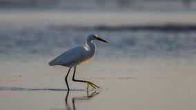 Snowy Egret, Breeding Plumage, San Carlos Bay, Bunche Beach Pres Stock Photo