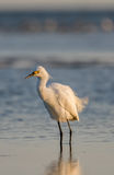 Snowy Egret, Breeding Plumage, San Carlos Bay, Bunche Beach Pres Stock Images