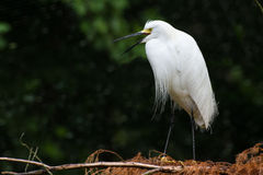 Snowy Egret Calling. A snowy egret calling from a low tree branch Stock Photo