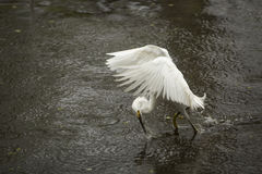 Snowy egret catching a fish in the Florida Everglades. Stock Images