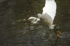 Snowy egret catching a fish in the Florida Everglades. Royalty Free Stock Photos