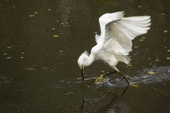 Snowy egret catching a fish in the Florida Everglades. Royalty Free Stock Photo