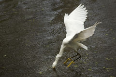 Snowy egret catching a fish in the Florida Everglades. Stock Photography