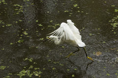 Snowy egret catching a fish in the Florida Everglades. Royalty Free Stock Image