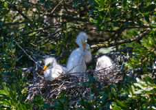 Snowy Egret Chicks Stock Photos