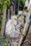 Snowy Egret Chicks Quartet royalty free stock photo