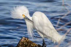 Snowy Egret. A close up of a Snowy Egret at St. Andrews State Park in Florida stock images