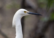 Snowy Egret, closeup Stock Photos
