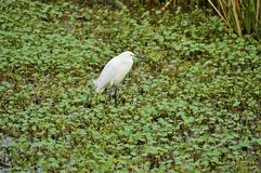 Snowy egret in a cluster of clovers Royalty Free Stock Photos