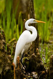 Snowy Egret and Cypress Knees. Snowy Egret with a beautiful S curve in its neck standing amongst the cypress knees on the bank of a swamp Royalty Free Stock Image