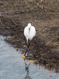 Snowy Egret Dancing Royalty Free Stock Photo