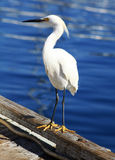 Snowy Egret on Dock of the Bay. A snowy egret sits on the dock in Mission Bay, San Diego Royalty Free Stock Image