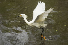Snowy egret dragging its feet while flying in Florida`s Everglad Stock Image