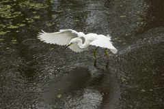 Snowy egret dragging its feet while flying in Florida`s Everglad Stock Images