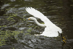 Snowy egret dragging its feet while flying in Florida`s Everglad Royalty Free Stock Photography