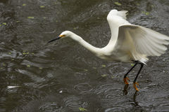 Snowy egret dragging its feet while flying in Florida`s Everglad Stock Photos