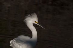 Snowy egret. Dramatic late afternoon lighting catches the alert gaze of this stately water bird as it spots a potential early dinner in the water Royalty Free Stock Image