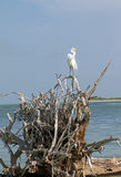 A Snowy Egret on Driftwood Stock Photo