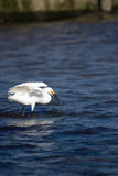 Snowy Egret Eating Fish Royalty Free Stock Photos