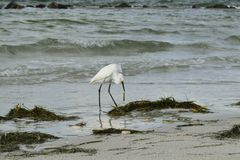 Snowy egret eating sea grass Stock Image