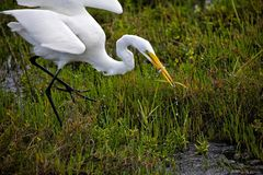 Snowy egret eats fish stock photo