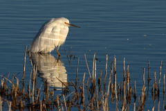 Snowy Egret On Edge Of Spring Lake Royalty Free Stock Images