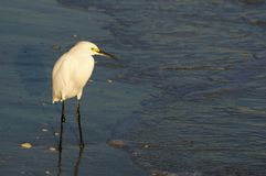 Snowy Egret Egetta thula standing in shallow surf at sunset. stock photo