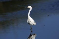 Snowy egret, egretta thula Royalty Free Stock Image