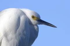 Snowy egret, egretta thula Royalty Free Stock Photography