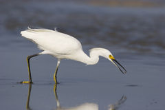 Snowy Egret, Egretta thula Royalty Free Stock Photo